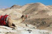 Israeli Camel in Judean Desert