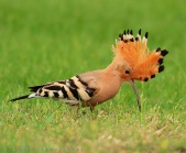Israeli Bird Hoopoe
